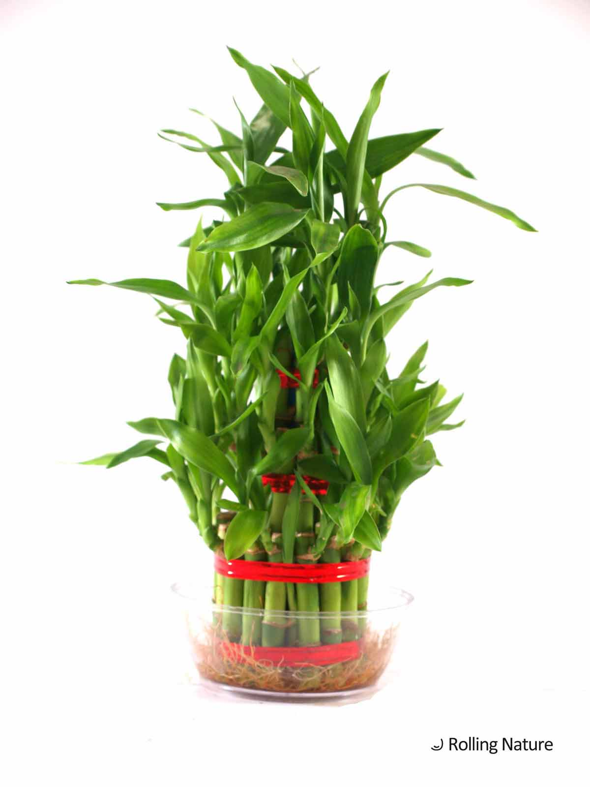 lucky bamboo plants viewing gallery. Black Bedroom Furniture Sets. Home Design Ideas