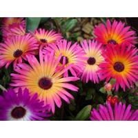 Mesembrynthemum Or Ice Flower - Flower Seeds By Kraft Seeds [Kitchen & Home]