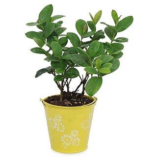 Ixora Plant N Yellow Planter
