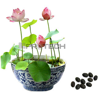 Seeds-Multi Color Lotus Flower For Your Balcony Nelumbo Nucifera 12