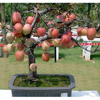 Seeds-Bonsai Apple