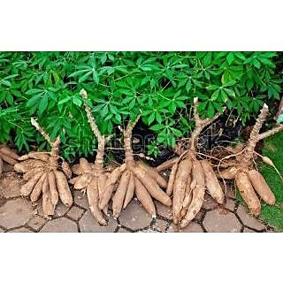 Tapioca ELAICHI   live plant stick grow indoor and outdoor