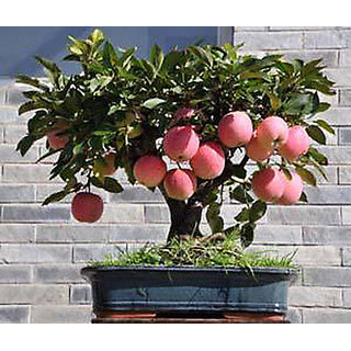 Seeds-Mini Apple Bonsai Tree Home Grow Exotic Plant Pitch Monkey