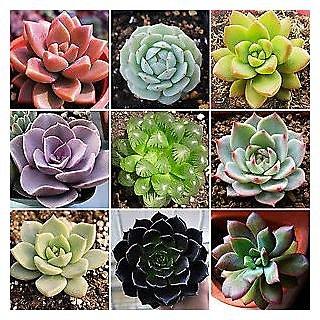 Seeds-20 Rare Mixed Succulents Flower Organic