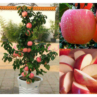 SeedsDwarf Fuji Apple Tree Indoor Or Outdoor Sweet Fruits