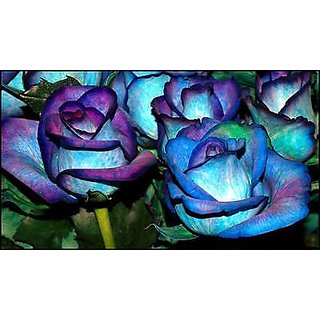 Seeds blues blue rose bush 20 buy seeds blues blue rose for Buy black and blue roses