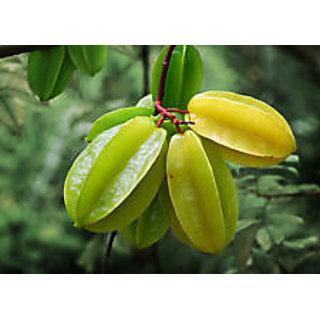 Live (Starfruit Carambola) Tropical Fruit Plant-HUGES PRODUCTION -1 PLANT