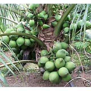 DWARF COCONUT PLANT - HYBRID - 1 HEALTHY LIVE PLANT