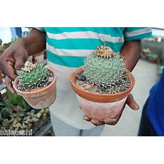 Cactus Obregunia Drenegri live Plant (with Pot) one big size.