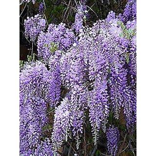 live Wisteria sinensis purple colour plant Rare plant