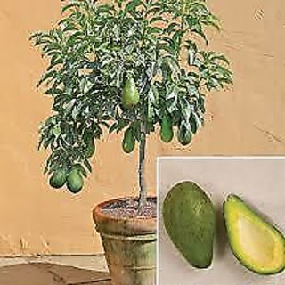 avocado live plant medical plant