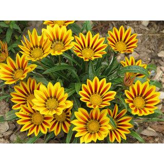 Seeds-Saaheli Gazania Yellow Red Flower Seed (10 Per Packet)