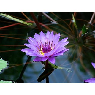 Seeds-Saaheli Lotus Flower Purple (10 Per Packet)