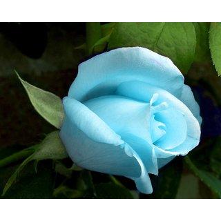 Seeds-Saaheli Rose Blue Dragon (20 Per Packet)