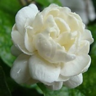 Arabian Jasmine - Mogra Double live plant