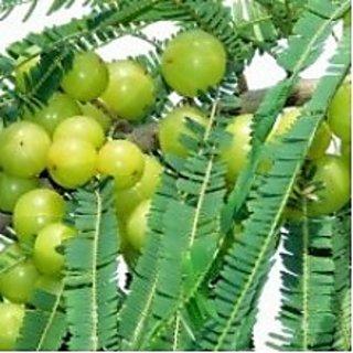 Amla Big - Indian Goosberry live plant