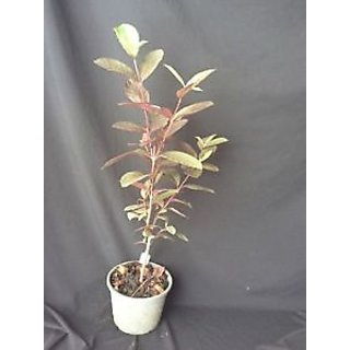Guava Red Live Plant
