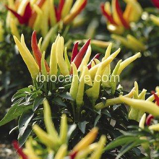 Seeds-Biocarve Panam F1 Ornamental Chilli -10