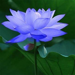 Seeds-Futaba Blue Bowl Lotus - 5 Pcs
