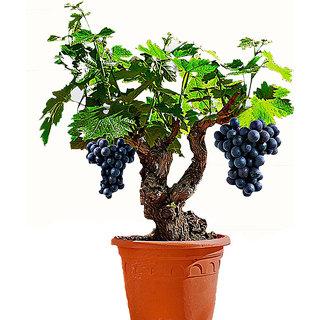 Seeds-Futaba Miniature Grape Vine - 50 Pcs