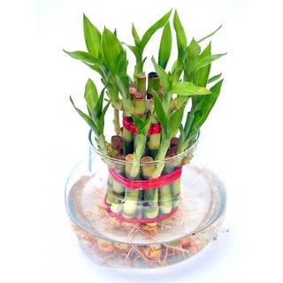Futaba Lucky Bamboo Seeds - 100 Seeds