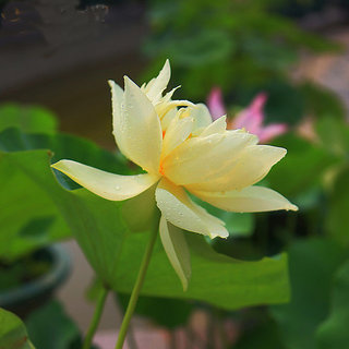 Futaba Yellow Bowl Lotus Seeds - 5 Seeds