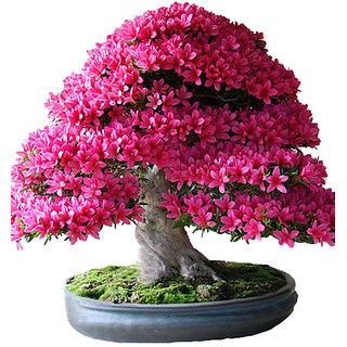 Seeds-Futaba Japanese Sakura Bonsai Plant - 10 Pcs