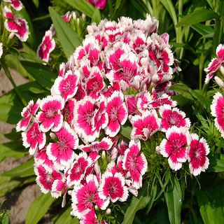 Seeds- Dianthus Chinensis Mix - Baby Doll