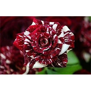 Seeds-Rose Black Dragon Seed - Pkt Of 10