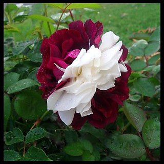 Seeds-Rose Zampa Dust Seed - Pkt Of 10