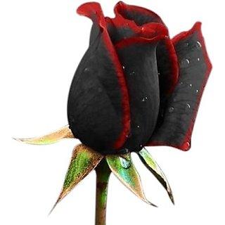 Seeds-True Blood Rose - Pkt Of 10