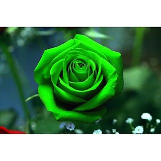 Seeds-Rainbow Spring Green Rose - Pkt Of 10