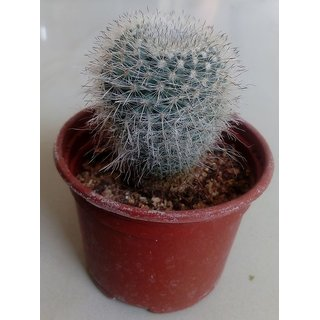 Cactus plant 35,succulent,exotic,indoor,show plant,home decor,garden,live plant with pot