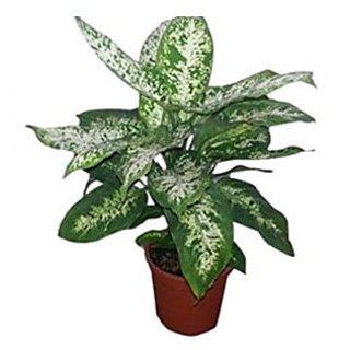 Indoor Diffinbachia Plant
