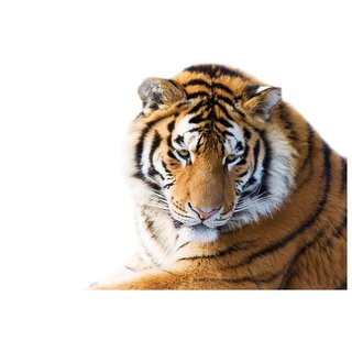 Decor Villa - Big Tiger Wall Poster ( 18 Inch X 24 Inch )