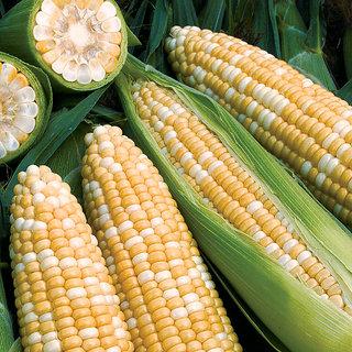 Corn seeds x 2 pack