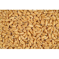 Sharbati Wheat From MP 5 Kg Pack