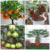 Bonsai Fruit Seeds Combo #2 - Orange Guava Grapes Papaya Seeds Pack