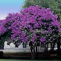 PURPLE CREPE MYRTLE SEED Fast And Free Shipping