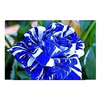 Blue Striple Rose Seeds Free Shipping Everywhere In India