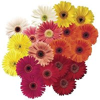 GERBERA DAZZLE COMPACT F2 MIX FLOWER SEEDS.PACK Of 30 SEEDS