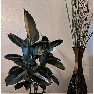 Puspita Nursery Rubber Plant with Pot for Indoor (Natural Colour)