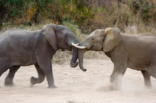 Wild Elephant Fight Framed Photo
