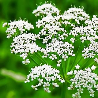 Herb Seeds: Anise