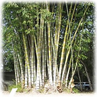 Root Plants-12 Nos Dendrocalamus Asper Bamboo Tissue Cultured