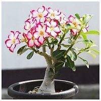 Seeds-Rose Air Purification Adenium Flower Absorbs Harmfull Gas In The Air For Indoor And Outdoor