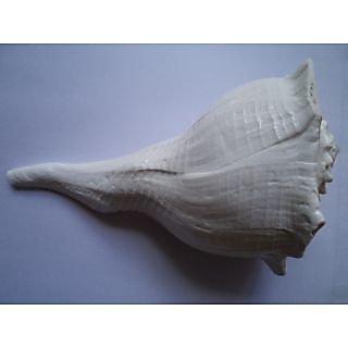 Right Hand Conch(Dakshina Warti Sankh)