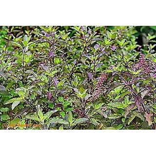 Seeds-Tulsi (Holy Basil) - Kitchen Gardening Pack - Approx 100 !