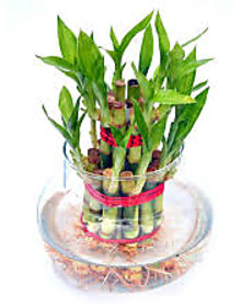 2 Layer Lucky bamboo with pot