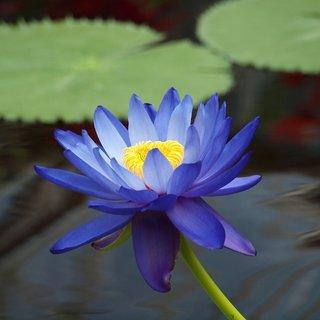 Asian lotus flower